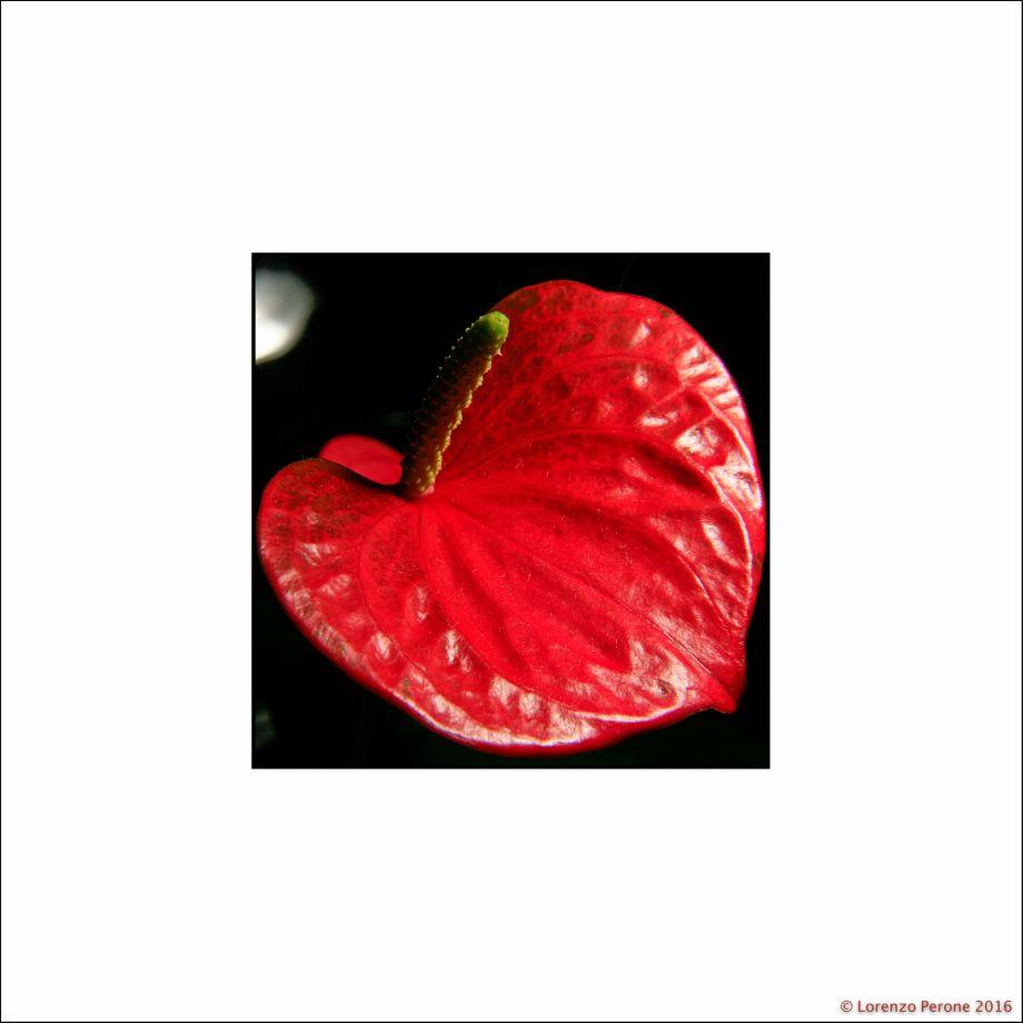 fiore_rosso40X40
